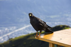 Alpine chough. Or yellow-billed chough (Pyrrhocorax graculus royalty free stock photos