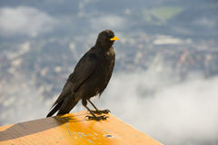 Alpine chough. Or yellow-billed chough (Pyrrhocorax graculus royalty free stock image