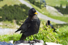 Alpine chough. Or yellow-billed chough (Pyrrhocorax graculus stock photos