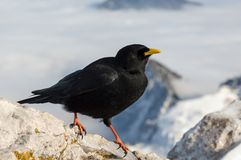 Alpine Chough. With mountains in the background Stock Photo