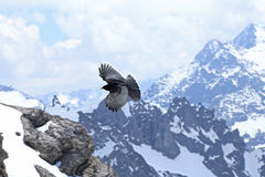 Alpine Chough Royalty Free Stock Photography