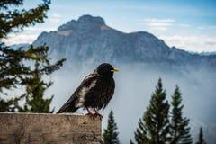 Alpine chough Royalty Free Stock Photo