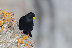 Alpine Chough Bird Pyrrhocorax Graculus Standing On Red Rock Stock Photography