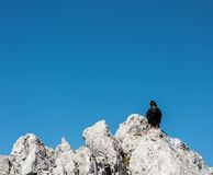 Alpine chough. Stock Photos