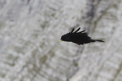 Alpine chough in flight Stock Photography