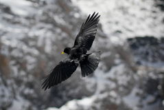 Alpine Chough in flight Royalty Free Stock Image