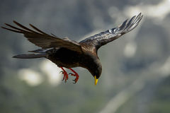 Alpine chough Stock Photography