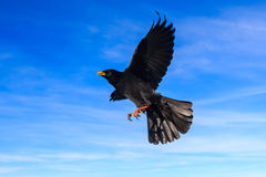 Alpine chough in a flight Royalty Free Stock Photography