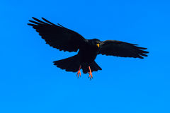 Alpine chough in a flight Royalty Free Stock Photos