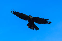 Alpine chough in a flight Royalty Free Stock Images