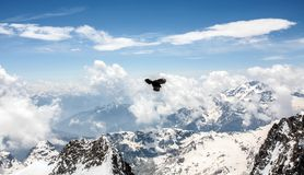 Alpine Chough Flying Over the Alps. With Mountain Ridge in the Background Royalty Free Stock Photography