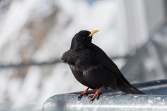 Alpine chough in his sights Stock Photo