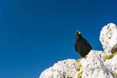 Alpine chough. Stock Images