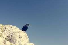 Alpine chough. Royalty Free Stock Images