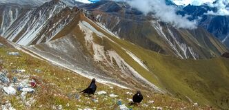 Free Alpine Chough Or Yellow-Billed Chough In The Himalayas Stock Images - 182337374