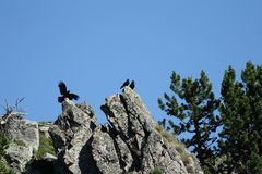 Alpine chough perched on a rock in Pyrenees Stock Photo