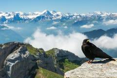 Alpine chough on Pilatus Royalty Free Stock Photo