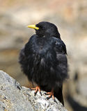 Alpine Chough (Pyrrhocorax graculus),. Photo taken at Swiss Alps royalty free stock images