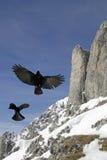 Alpine Chough (Pyrrhocorax graculus) stock photo