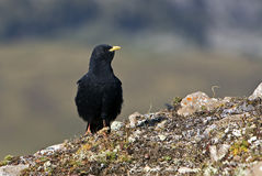 Alpine Chough (Pyrrhocorax graculus), Stock Images