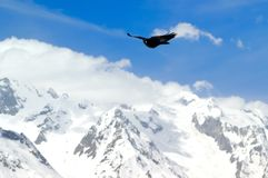 Alpine Chough (Pyrrhocorax graculus) Stock Photos