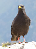 Alpine Chough (Pyrrhocorax graculus) Royalty Free Stock Images