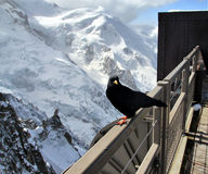 Alpine Chough (Pyrrhocorax graculus) also known as Yellow-billed Royalty Free Stock Photo