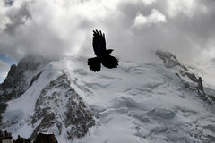 Alpine Chough (Pyrrhocorax graculus) also known as Yellow-billed Royalty Free Stock Images