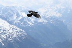 Alpine Chough Stock Photo