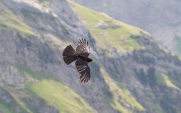 Alpine Chough (Pyrrhocorax graculus) flying Royalty Free Stock Photo