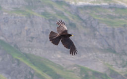 Alpine Chough (Pyrrhocorax graculus) flying Royalty Free Stock Image