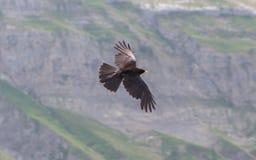 Alpine Chough (Pyrrhocorax graculus) flying Royalty Free Stock Image