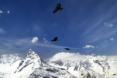 Alpine Chough (Pyrrhocorax graculus) flying in mountains Stock Photos