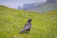 Alpine Chough (Pyrrhocorax graculus) Stock Photography