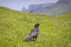 Alpine Chough (Pyrrhocorax graculus) Stock Photography