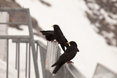 Alpine Chough resting in the Alps, near Engelbeg, Switzerand. Stock Photography