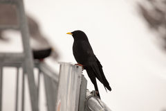 Alpine Chough resting in the Alps, near Engelbeg, Switzerand. Royalty Free Stock Photography