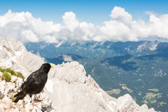 Alpine chough sitting on a rock Stock Photo