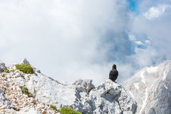 Alpine chough sitting on a rock Stock Photos