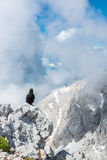 Alpine chough sitting on a rock Stock Images