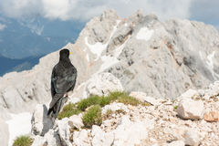 Alpine chough sitting on a rock Royalty Free Stock Photography