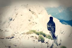 Alpine chough sitting on a rock Stock Photography
