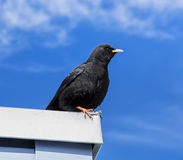 Alpine chough Royalty Free Stock Image