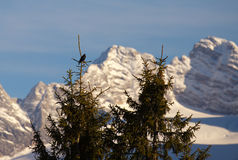 Alpine chough on a spruce Royalty Free Stock Image
