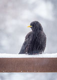 Alpine chough. In waiting food snowfall Stock Image