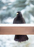 Alpine chough. In waiting food snowfall Royalty Free Stock Image