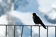Alpine Chough or Yellow-billed Chough Royalty Free Stock Photography