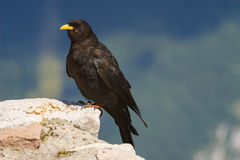 Alpine chough or yellow-billed chough Stock Photos