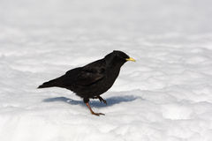 Alpine chough or yellow-billed chough, Pyrrhocorax graculus Stock Photo