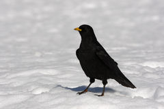 Alpine chough or yellow-billed chough, Pyrrhocorax graculus Stock Images